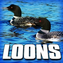 Loons (Nature Sound) - Single, Sounds of the Earth