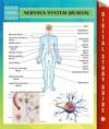 Nervous System Human Speedy Study Guides