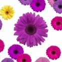 Purple Daisy Officemate icon