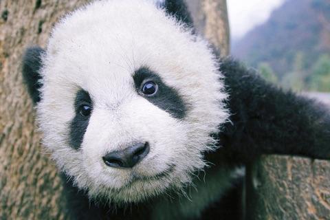赤ちゃんパンダのどアップ
