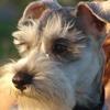 Schnauzer Dog Book