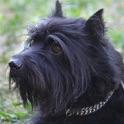 Amazing Schnauzer Dog Tap Puzzles - free edition icon