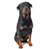 Rottweiler Dog Sounds Wiki