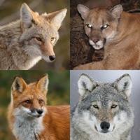 Coyote & Predator Hunting Calls