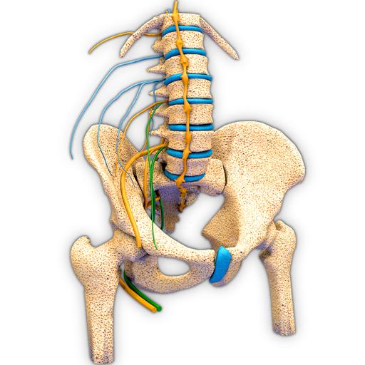 3d pelvic anatomy