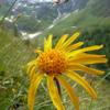 Heilpflanzen der Alpen