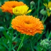 Calendula Guide-Benefits and Uses