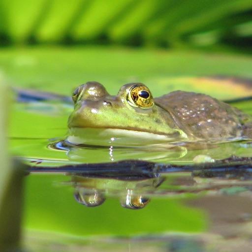 Frog Pond Hop iOS App