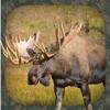 Älglockljud - Moose Hunting Calls