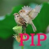 PIP Camera Real-time --- pictuer in picture app free for iPhone/iPad