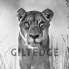 Giltedge Africa – Luxury Safaris