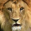 Lion qui parle