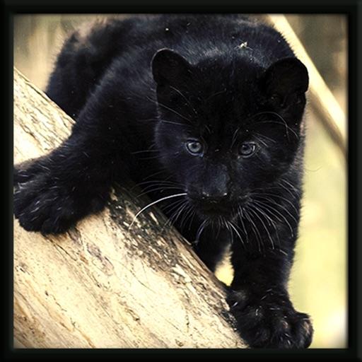 Wild Jungle Panther Cub Attack Sim iOS App