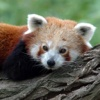 Red Panda Fetish - View cute red pandas every day! red ants